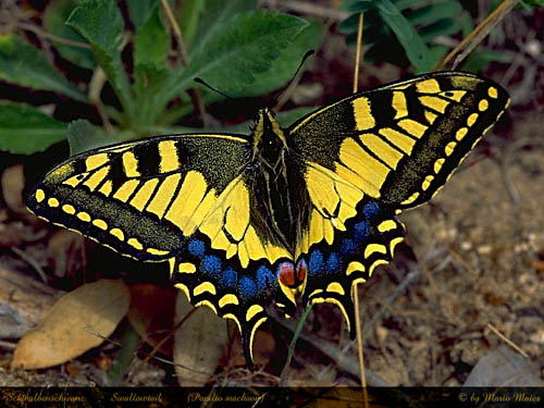machaon.JPG (64205 Byte)